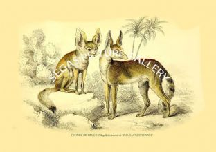 FENNEC OF BRUCE (Megalotis zerda) & RED-BACKED FENNEC